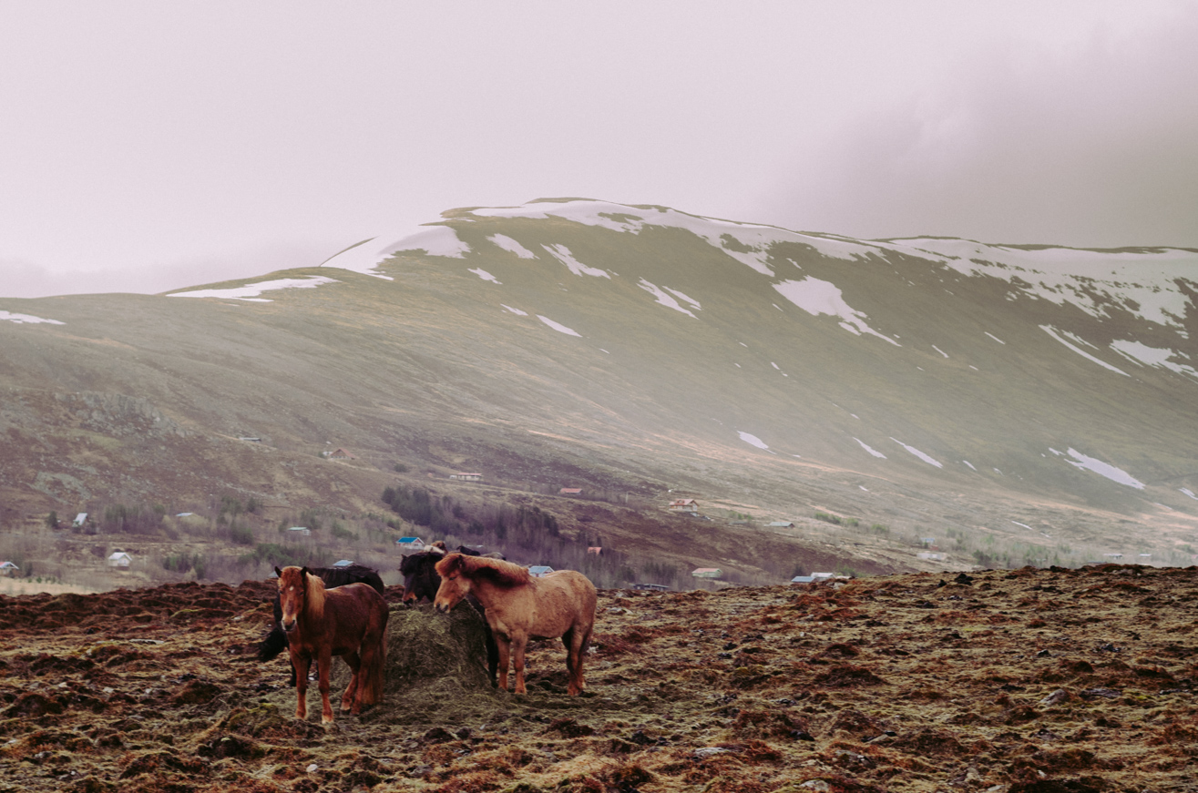 Icelandic horse group - Travel Photographer Charlie Sin