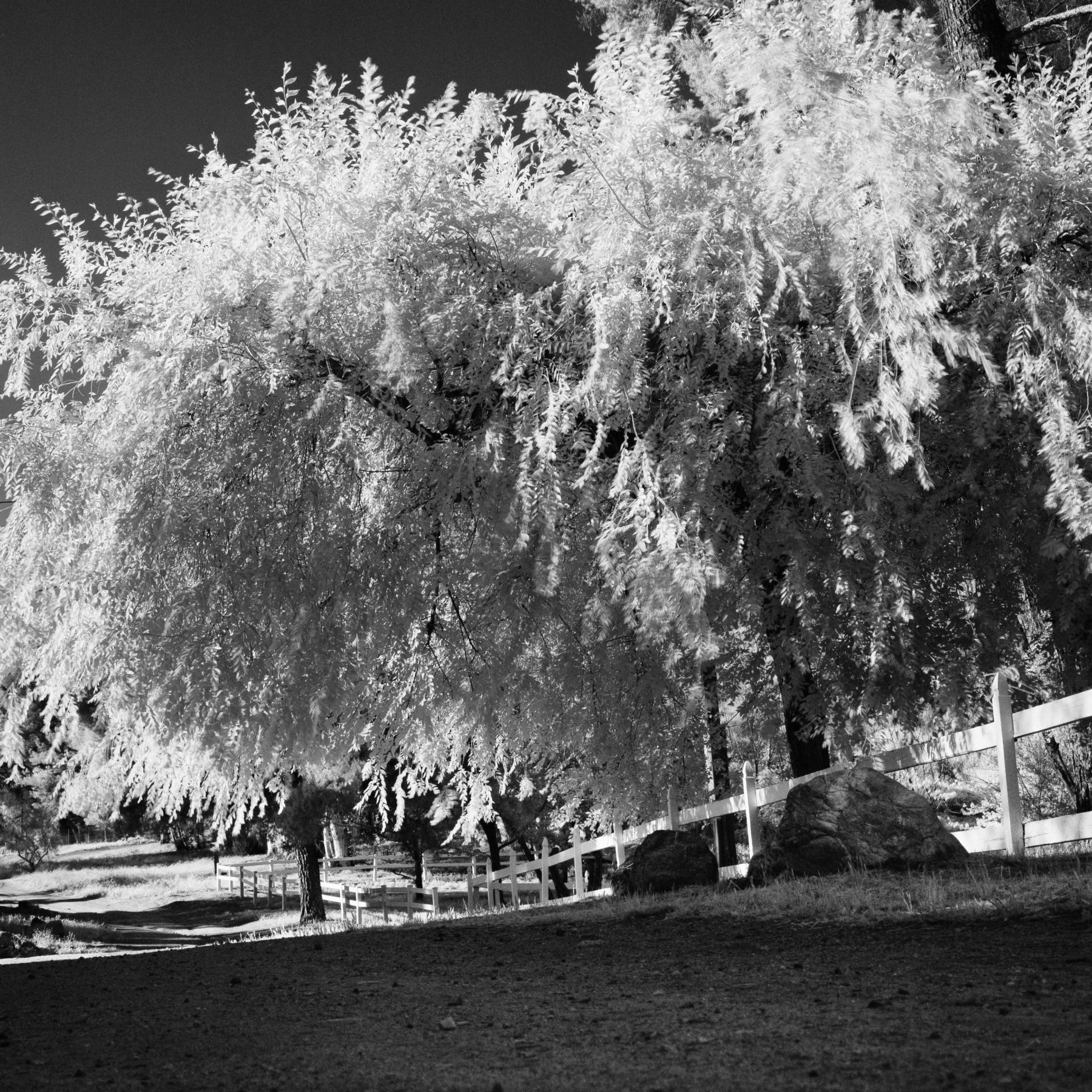 Tree by the dirt road_Infrared Photographer LA Charlie Sin